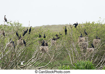 Colony Great cormorant in trees