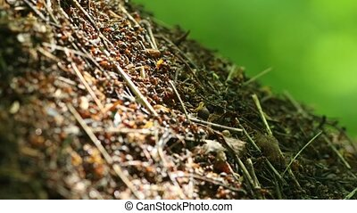 Colony of ants on the ground in the forest. Mid shot