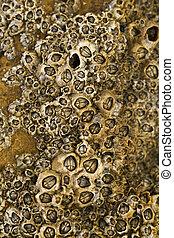 colony of barnacles - Macro view of a colony of barnacles on...