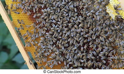 Colony Of Bees On Honeycomb - Colony of bees on honeycomb...