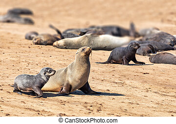 colony of brown seal in Cape Cross, Namibia