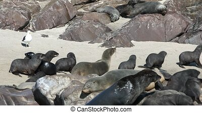 Sea lion, female with babies go to the sea in Cape Cross, Namibia safari wildlife
