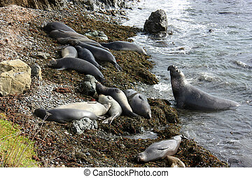 colony of elephant seals on beach, California