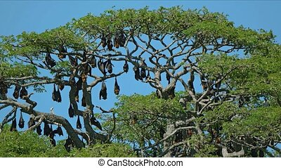 Colony of Flying Foxes in a Tree over Tissa Lake. Video...