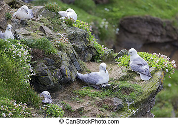 Colony of Fulmar sitting by their nest along a cliff on Shetland Islands