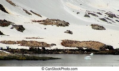 Colony of Gentoo Penguin - Pygoscelis papua - Magellanic Penguin - Spheniscus magellanicus in Antarctica - Antarctic Peninsula - Palmer Archipelago - Neumayer Channel - Global Warming