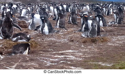 Colony of Gentoo penguins (Pygoscelis papua) at Volunteer...