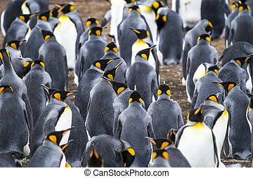 Colony Of King Penguins - King Penguin - Aptenodytes...