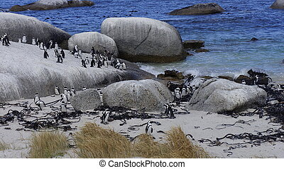 Colony of penguins on the beach