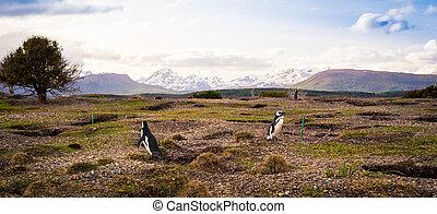 penguins Tierra del Fuego - Colony of penguins Tierra del ...