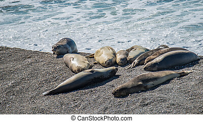 Colony of sea lions and elephant seals at Peninsula Valdes, Patagonia
