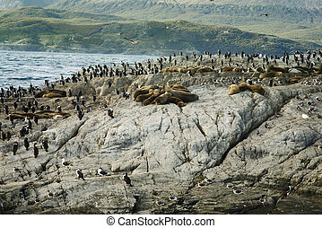 Colony Of Sea Lions And King Cormorants Resting On A Small Island On The Beagle Channel, Tierra Del Fuego, Argentina