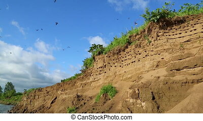 colony of swallows on steep bank of river