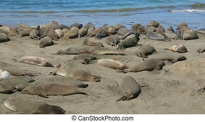 Colony of wild Elephant Seals - Colony of Northern Elephant...