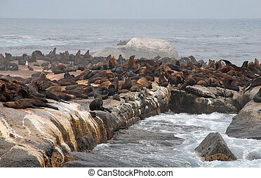 colony of wild fur seals (South Africa) - colony of wild fur...
