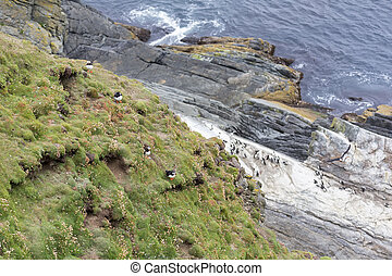 Colony or circus of Puffins sit on the short grass of a cliff in Shetland Islands