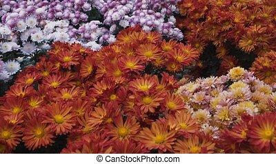 coloré, chrysanthèmes, papillons, en mouvement, fond, floral