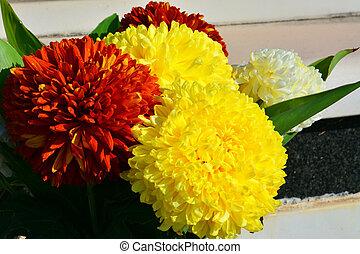 coloré, dahlia, fleurs