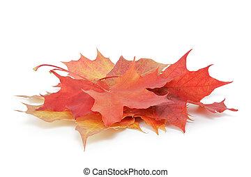 coloré, feuilles, automne, tas, blanc, érable