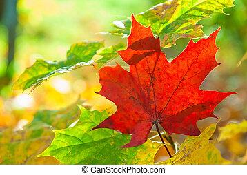 coloré, feuilles, ensoleillé, jour automne, érable