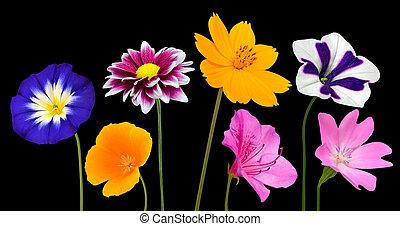 coloré, isolé, collection, noir, divers, fleurs