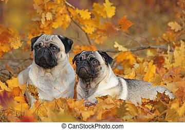 coloré, laisse deux, pugs, automne, beige, mensonge