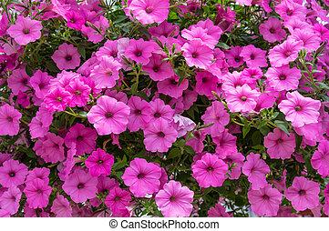 coloré, petunis, fleur, usines, fleur