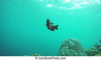 coloré, sur, poisson tropical, récif, maldives