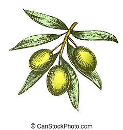 Color Agricultural Fresh Olive Tree Branch Ink Vector