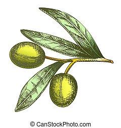 Color Agricultural Item Olive Branch Vintage Vector