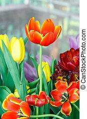 color anaranjado, flor, tulipán