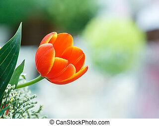 color anaranjado, tulipán