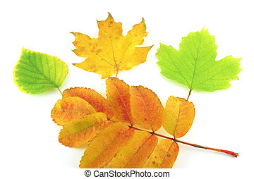Color autumn leaves of birch, rowan and maple