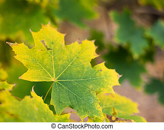 Color changing leaf of a norway maple in autumn