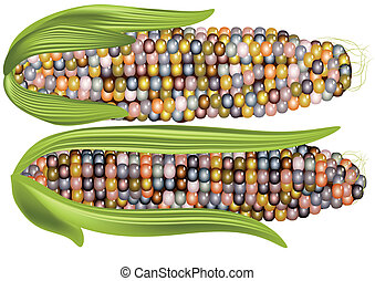 color corn isoated on a white background