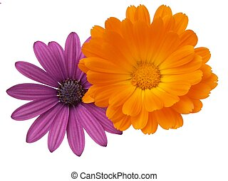 Color - Design elements: Osteospermum and Calendula in...
