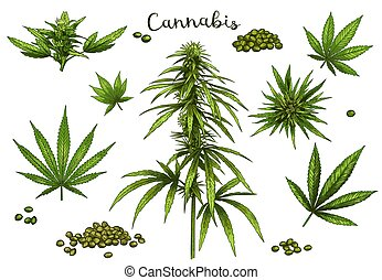 Color hand drawn cannabis. Green hemp plant seeds, sketch ...
