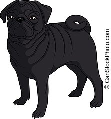 Color image of a black pug. Isolated vector object.