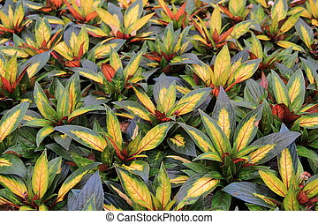 Color of Painted Paradise plant