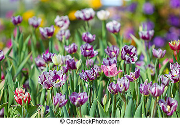 color of purple tulips background