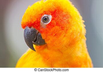 color of Sun Conure parrot bird