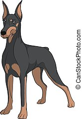 Color vector image of a Doberman