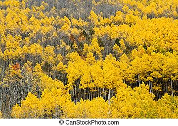 Colorado Aspen Forest in Fall #1
