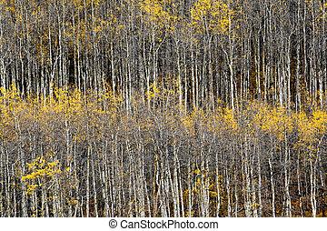 Colorado Aspen Forest in Fall #2