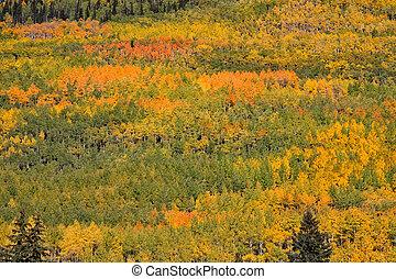 Colorado Aspen Landscape in Fall