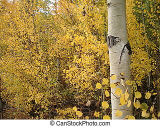 Colorado Aspens Changing Color