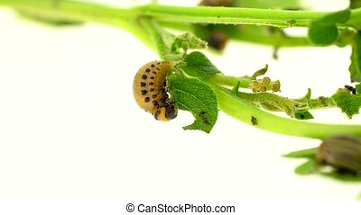 Colorado beetle and larvae eat potato stalk on a white...