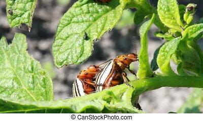 Colorado beetle - Colorado potato beetle, potato  farm.