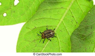 Colorado beetle eats a stalk from a potato on a white...