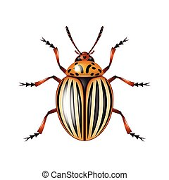 Colorado beetle isolated on white vector